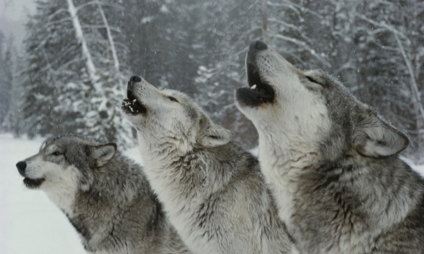 Howling YOURS
